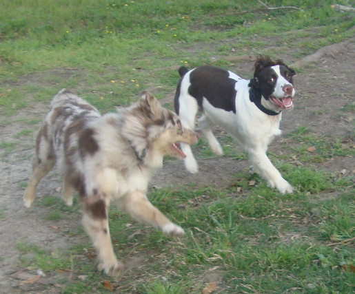 english springer spaniel dog breeds olivers pet care dog