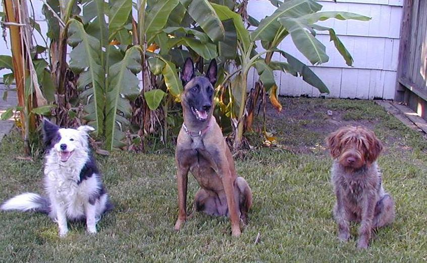 Stay!   Border Collie Frolic, Belgian Malinois Taz  and Wire-Haired Pointing Griffom Winston