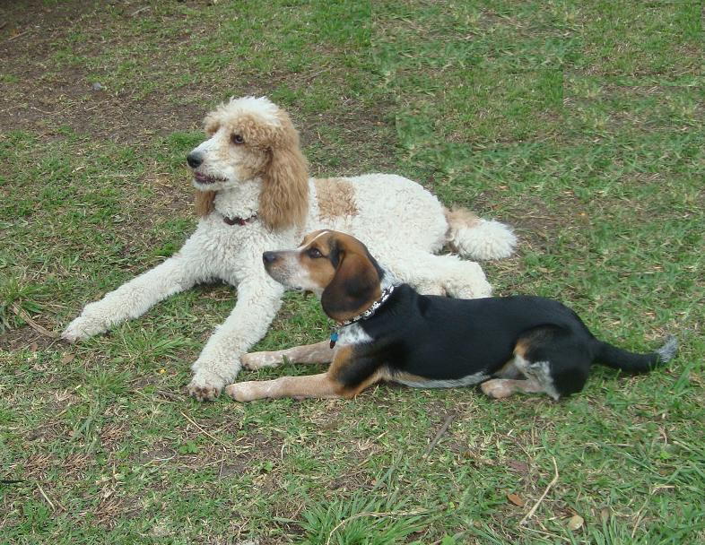 Standard Poodle Shandi and Beagle Molsen on a down stay.